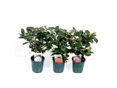 Камелия японская микс Camellia Japonica Mix
