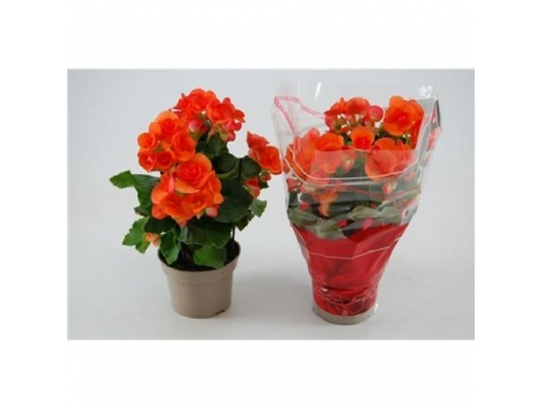Бегония Валстар Оранж Begonia Orange Valstar