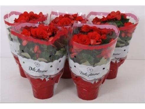 Бегония Долкаморе Ред Begonia Dolc'amore Red