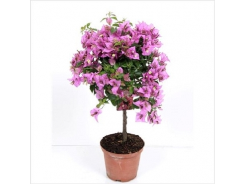 Бугенвиллия Штамб Bougainvillea On Stem