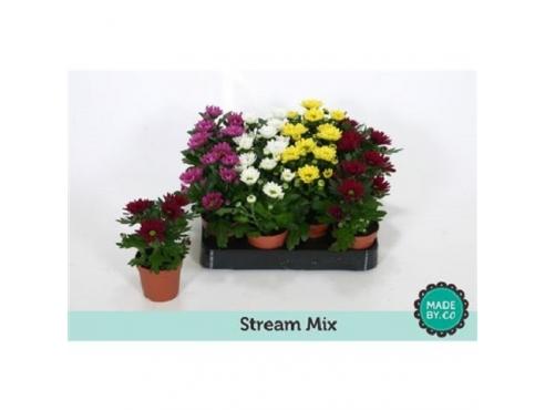 "Хризантема ""Стрим"" Chrys Stream Mix"