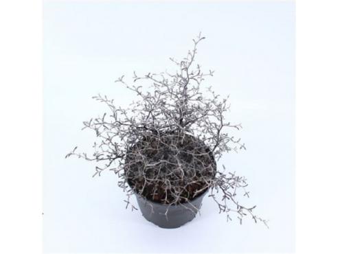 Корокия кизильниковая Corokia Cotoneaster