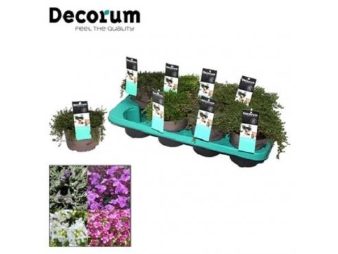 Тимьян Thymus Mix (decorum)