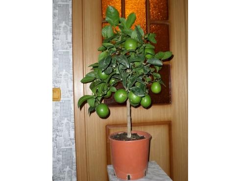 "Цитрус ""Лайм"" Citrus Lime On Stem"