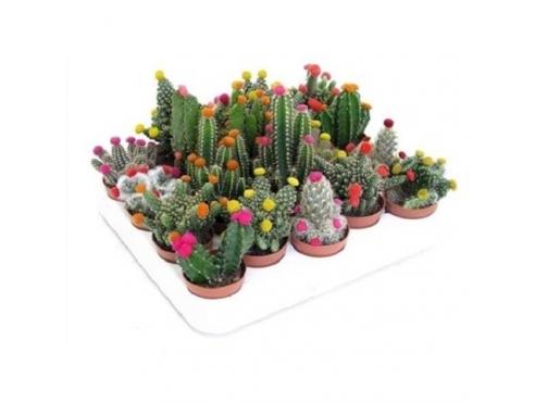 """кактус """"Стро Диско"""" Cactus Mix Stro Disco"""