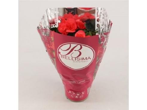 Бегония Белиссима Пинк Begonia Bellisima Pink