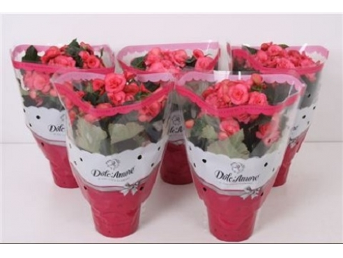 Бегония Долкаморе Пинк Begonia Dolc'amore Pink