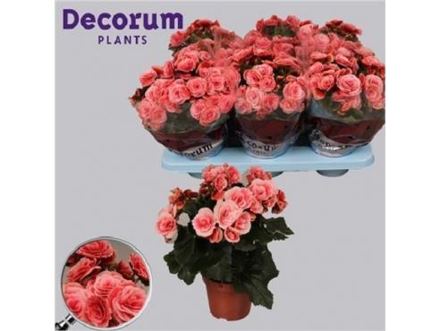 Бегония Бориас Begonia Borias (decorum)