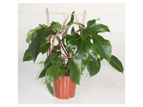 "Филодендрон ""Ред Вондер"" Philodendron Red Wonder"