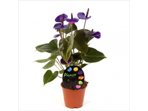 Антуриум Пикассо Пурпл 5+ Anth An Picasso Purple 5+