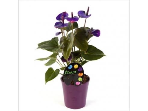 Антуриум Пикассо Пурпл 5+ в керамике Anth An Picasso Purple In Boston Pot 5+