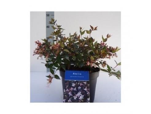 Абелия крупноцветковая Abelia Grandiflora