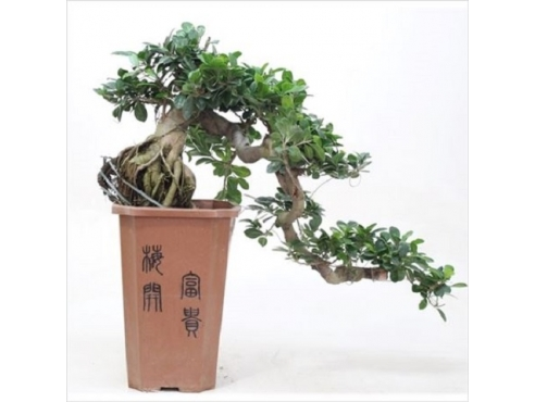 Фикус Каскад Ficus Cascade In Plastic Pot