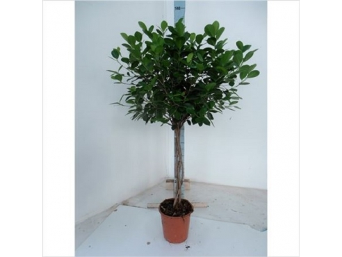 Фикус Панда Ficus Panda Twisted On Stem