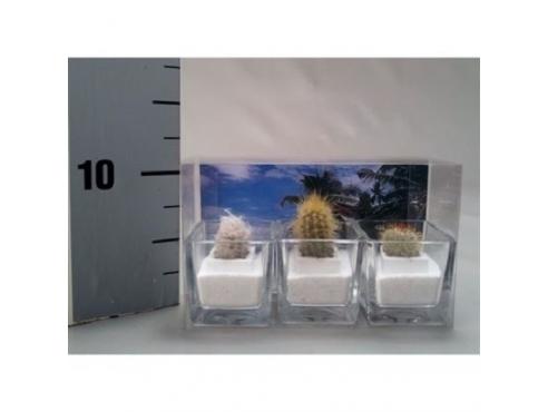 кактус микс Cactus Mix Mini In Glas (3x) Beach