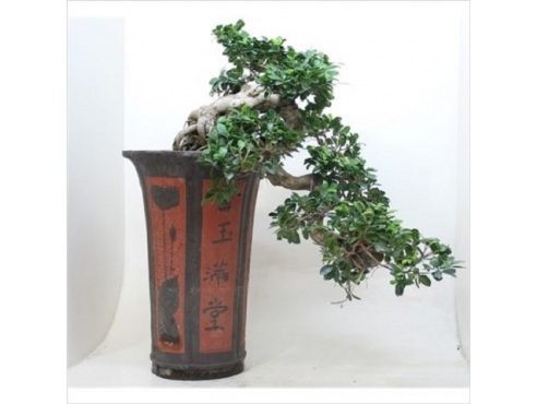 Фикус Каскад Ficus Cascade In Ceramic Pot
