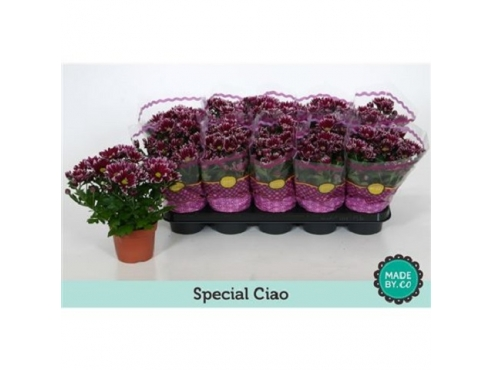 "Хризантема ""Циао"" Chrys Special Ciao"