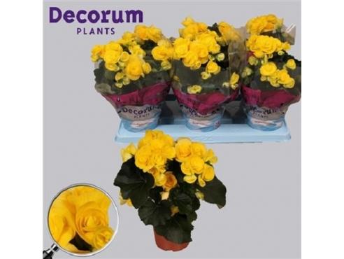 Бегония Ребекка Begonia Rebecca (decorum)