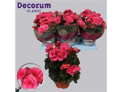 Бегония Берсеба Begonia Berseba (decorum)