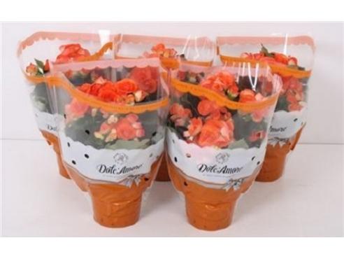 Бегония Долкаморе Оранж Begonia Dolc'amore Orange