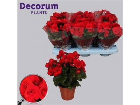 Бегония Баладин Begonia Baladin (decorum)