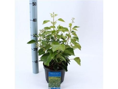Хедера древовидная Hedera Helix Arborescens