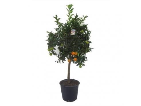 "Цитрус ""Апельсин Аранцио"" Citrus Sinensis Arancio"