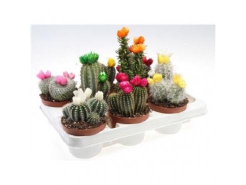 "Кактус ""Драй Флауэрс"" Cactus Mix Dry Flowers"