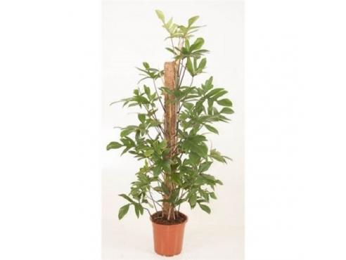 Филодендрон стоповидный Philodendron Pedatum