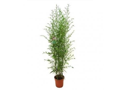 Бамбук Аурея Bambusa Aurea