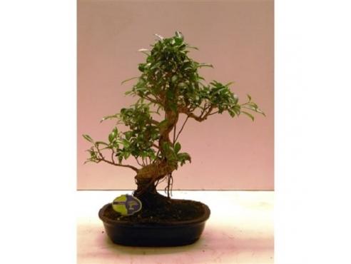 "Бонсаи фикус ""Ретуса Шейп"" Bonsai Ficus Retusa Shape"