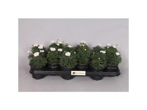 """Аргиранемум """"Уайт"""" Argyranthemum White"""