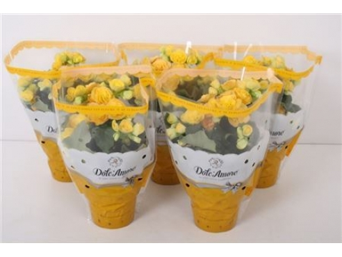 Бегония Долкаморе Йеллоу Begonia Dolc'amore Yellow