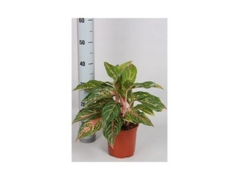 "Аглаонема ""Ред Баттерфляй"" Aglaonema Red Butterfly"