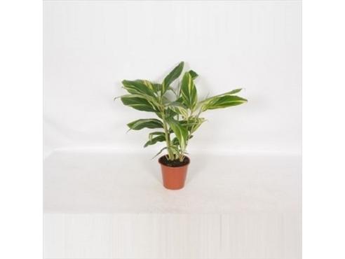 Альпиния Джинжер Alpinia Ginger (decorum)