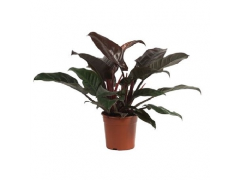 "Филодендрон ""Империал Ред"" Philodendron Imperial Red"