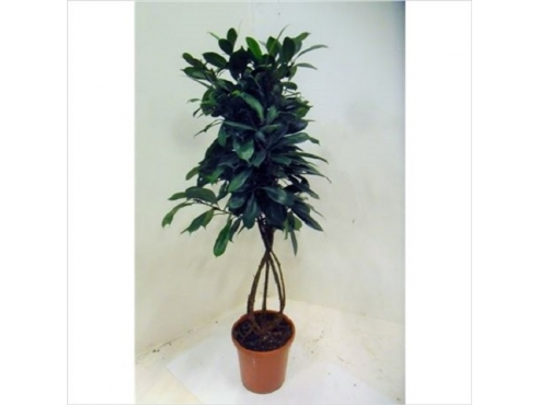Фикус Циатистипула Ficus Cyathistipula Twisted Stem