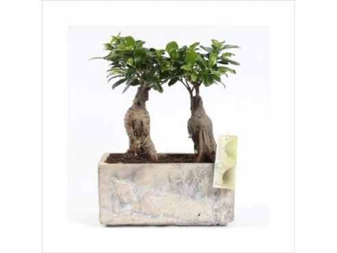 Фикус Гинсенг Ficus Ginseng 2x In Buddha Pot
