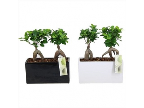 Фикус Гинсенг Ficus Ginseng 2x In Black And White Pot