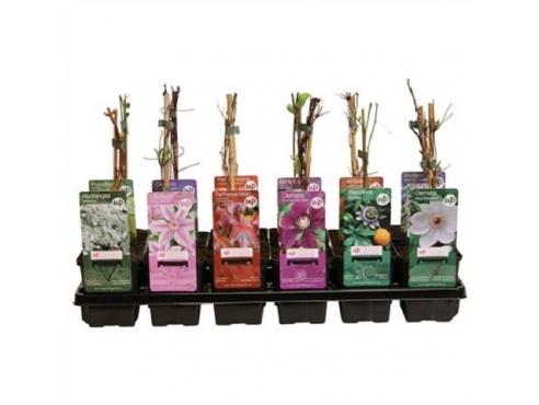 Плетистые розы Плант микс Climbing Plant Mix