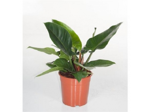 "Филодендрон ""Империал Грин"" Philodendron Imperial Green"