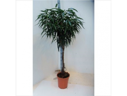 Фикус Бин Али Твистед Штем Ficus Bin Alii Twisted Stem