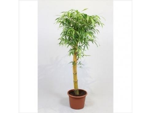 Бамбук обыкновенный Bambusa Vulgaris On Stem