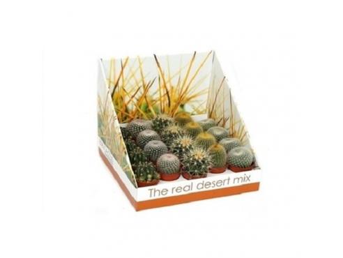 "Кактус ""Шар"" Cactus Mix Bol In Real Desert Showbox"