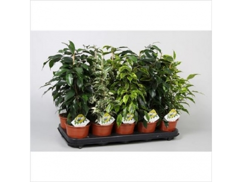 Фикус Бенджамина Микс Ficus Mix Benjamina Elite