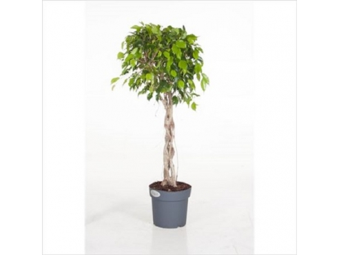 Фикус Экзотика Ficus Exotica Twisted Stem