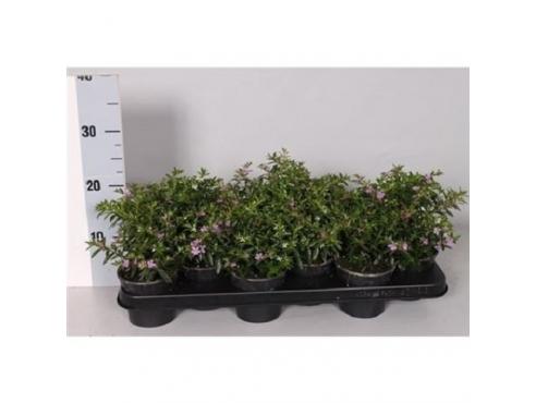 "Куфея иссополистная ""Трикси"" Cuphea Hyssopifolia Trixi"