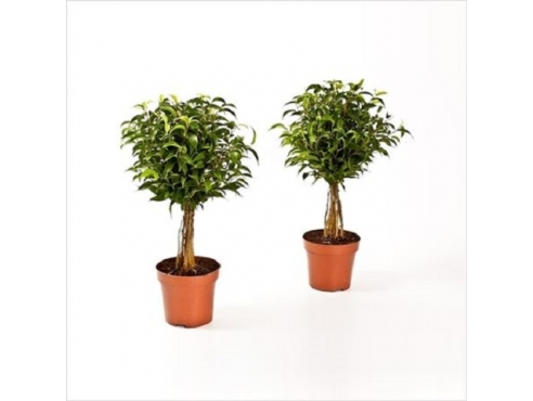 Фикус Бенджамина Бабилатос Ficus Be Babilatos