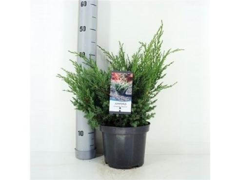 """Можжевельник китайский """"Блю"""" Juniperus Chinensis Blue"""