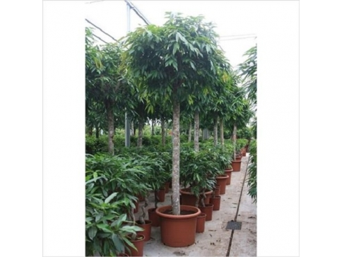 Фикус Амстел Кинг Ficus Amstel King On Stem